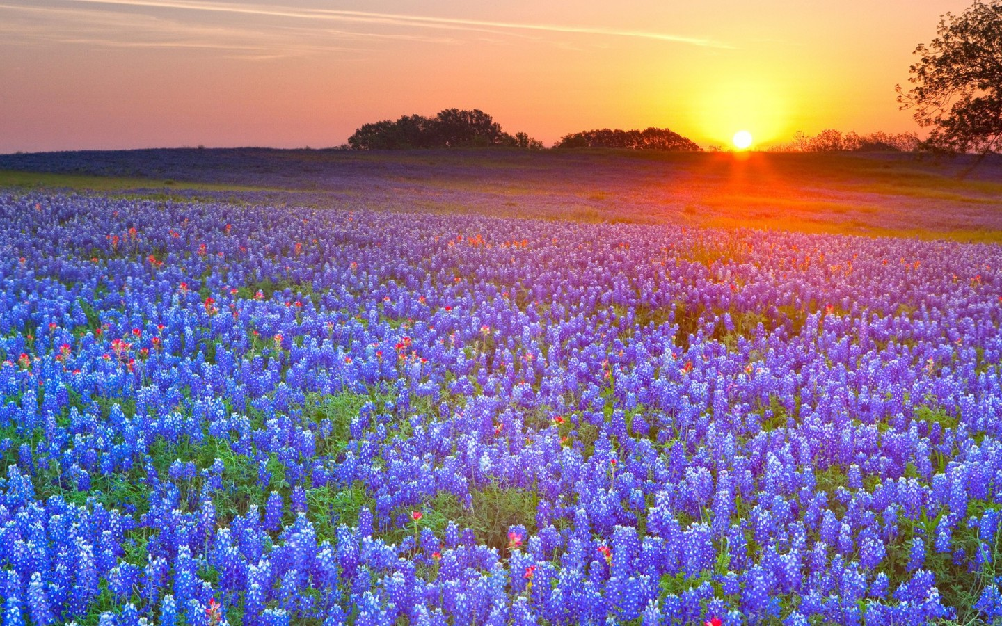 texas-bluebonnets.jpg